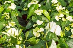 Άσπρο Anthurium λουλούδι Στοκ Εικόνες