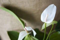 Άσπρο Anthurium λουλούδι Στοκ φωτογραφία με δικαίωμα ελεύθερης χρήσης