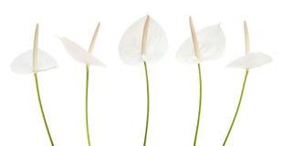 Άσπρο Anthurium λουλούδι Στοκ φωτογραφίες με δικαίωμα ελεύθερης χρήσης