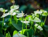 Άσπρο Anthurium που ανθίζει σε έναν τροπικό κήπο Λουλούδι φλαμίγκο Στοκ Φωτογραφίες