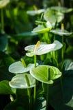Άσπρο Anthurium που ανθίζει σε έναν τροπικό κήπο Λουλούδι φλαμίγκο Στοκ φωτογραφίες με δικαίωμα ελεύθερης χρήσης