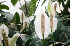 Άσπρο anthurium Στοκ φωτογραφίες με δικαίωμα ελεύθερης χρήσης