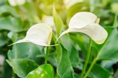 Άσπρο anthurium andreanum ή λουλούδι φλαμίγκο Στοκ Εικόνα