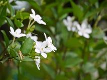 Άσπρο antidysenterica wringhtia ή phut λουλούδι pitchaya στην Ταϊλάνδη Στοκ εικόνες με δικαίωμα ελεύθερης χρήσης