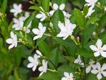 Άσπρο antidysenterica wringhtia ή phut λουλούδι pitchaya στην Ταϊλάνδη Στοκ φωτογραφία με δικαίωμα ελεύθερης χρήσης