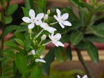 Άσπρο antidysenterica wringhtia ή phut λουλούδι pitchaya στην Ταϊλάνδη Στοκ Φωτογραφίες