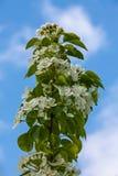 Άσπρο Apple-δέντρο Malus λουλουδιών Στοκ Φωτογραφία