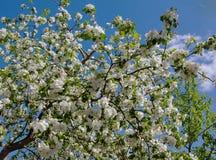 Άσπρο Apple-δέντρο Malus λουλουδιών Στοκ φωτογραφία με δικαίωμα ελεύθερης χρήσης