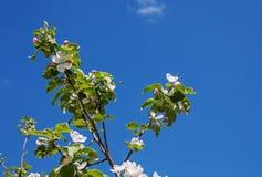Άσπρο Apple-δέντρο Malus λουλουδιών Στοκ Εικόνες