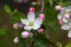Άσπρο Apple-δέντρο Malus λουλουδιών Στοκ εικόνα με δικαίωμα ελεύθερης χρήσης