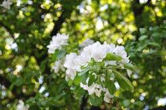 Άσπρο Apple-δέντρο στην άνθιση Στοκ εικόνες με δικαίωμα ελεύθερης χρήσης