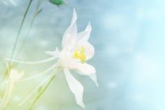 Άσπρο aquilegia λουλουδιών σε ένα θολωμένο υπόβαθρο φωτογραφία που τονίζετα&i Στοκ Εικόνα