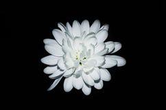 Άσπρο Astra σε ένα μαύρο υπόβαθρο Στοκ εικόνες με δικαίωμα ελεύθερης χρήσης