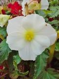 Άσπρο begonia Στοκ φωτογραφία με δικαίωμα ελεύθερης χρήσης