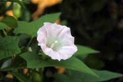 Άσπρο Bindweed φρακτών - sepium Calystegia Στοκ Εικόνες