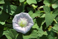 Άσπρο Bindweed φρακτών - sepium Calystegia Στοκ Φωτογραφία