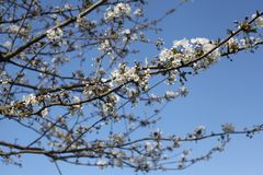 Άσπρο blossomtree Στοκ Φωτογραφία