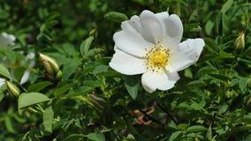Άσπρο Burnet αυξήθηκε pimpinellifolia της Rosa λουλουδιών στον ελαφρύ αέρα άνοιξη, 4K απόθεμα βίντεο
