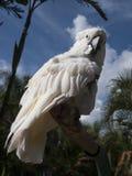 Άσπρο cacatua, cocatoo Στοκ φωτογραφίες με δικαίωμα ελεύθερης χρήσης