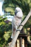 Άσπρο cackatoo Στοκ εικόνα με δικαίωμα ελεύθερης χρήσης
