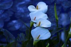 Άσπρο calla Στοκ φωτογραφίες με δικαίωμα ελεύθερης χρήσης