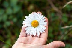 Άσπρο camomile λουλούδι σε ένα ανοικτό χέρι Στοκ εικόνα με δικαίωμα ελεύθερης χρήσης