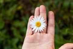 Άσπρο camomile λουλούδι σε ένα ανοικτό χέρι Στοκ εικόνες με δικαίωμα ελεύθερης χρήσης