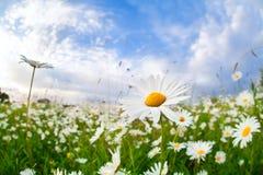 Άσπρο camomile λουλούδι πέρα από το μπλε ουρανό Στοκ φωτογραφία με δικαίωμα ελεύθερης χρήσης