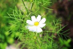 Άσπρο camomile λουλούδι Στοκ Εικόνα