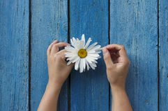 Άσπρο camomile στα χέρια Στοκ Φωτογραφίες