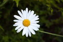 Άσπρο camomile Στοκ φωτογραφία με δικαίωμα ελεύθερης χρήσης