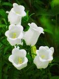 Άσπρο campanula κουδουνιών κήπων Στοκ Εικόνες
