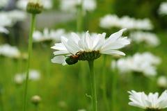 Άσπρο chamomile λιβάδι Στοκ Φωτογραφίες