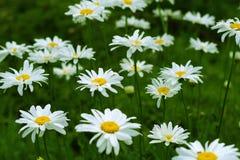 Άσπρο chamomile λιβάδι Στοκ φωτογραφίες με δικαίωμα ελεύθερης χρήσης