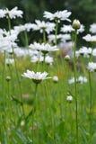 Άσπρο chamomile λιβάδι Στοκ Εικόνα