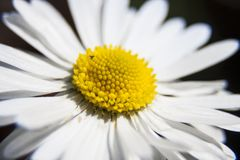 Άσπρο chamomile λουλούδι για τις δημιουργικές ιδέες σας Στοκ φωτογραφία με δικαίωμα ελεύθερης χρήσης