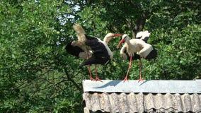 Άσπρο Ciconia πελαργών ζευγαριού που χτυπά στην παλαιά στέγη απόθεμα βίντεο