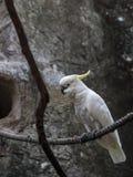 Άσπρο cockatoo ομπρελών στοκ εικόνες