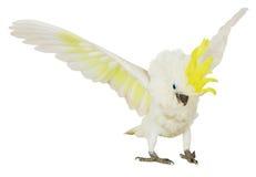 Άσπρο cockatoo που απομονώνεται στο άσπρο υπόβαθρο Στοκ Εικόνες
