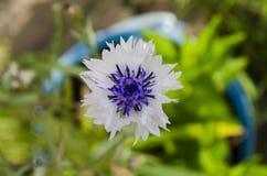 Άσπρο cornflower στον κήπο Στοκ φωτογραφίες με δικαίωμα ελεύθερης χρήσης