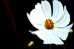 Άσπρο cosmo στοκ εικόνα με δικαίωμα ελεύθερης χρήσης
