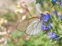 Άσπρο crataegi Aporia πεταλούδων Crataegi Aporia, η μαύρος-φλέβα Στοκ φωτογραφίες με δικαίωμα ελεύθερης χρήσης