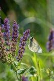 Άσπρο crataegi Aporia πεταλούδων Crataegi Aporia, η μαύρος-φλέβα Στοκ Φωτογραφίες