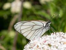Άσπρο crataegi Aporia πεταλούδων Crataegi Aporia, η μαύρος-φλέβα Στοκ φωτογραφία με δικαίωμα ελεύθερης χρήσης