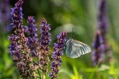 Άσπρο crataegi Aporia πεταλούδων Crataegi Aporia, η μαύρος-φλέβα Στοκ Εικόνα