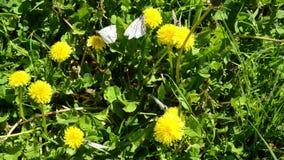 Άσπρο crataegi Aporia πεταλούδων σε μια χλόη χορτοταπήτων απόθεμα βίντεο