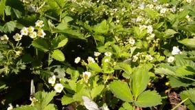 Άσπρο crataegi Aporia πεταλούδων φύλλα της φράουλας απόθεμα βίντεο