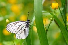 Άσπρο crataegi Aporia πεταλούδων Στοκ εικόνα με δικαίωμα ελεύθερης χρήσης