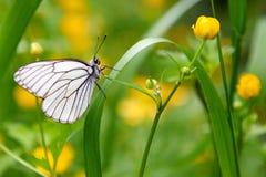 Άσπρο crataegi Aporia πεταλούδων Στοκ Εικόνα