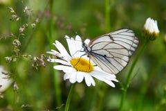 Άσπρο crataegi Aporia πεταλούδων Στοκ Φωτογραφία